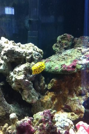 saltwater fish - ostracion cubicus - cubicus boxfish stocking in 35 gallons tank - More Dotty the Yellow Boxfish - Loving her new home!!