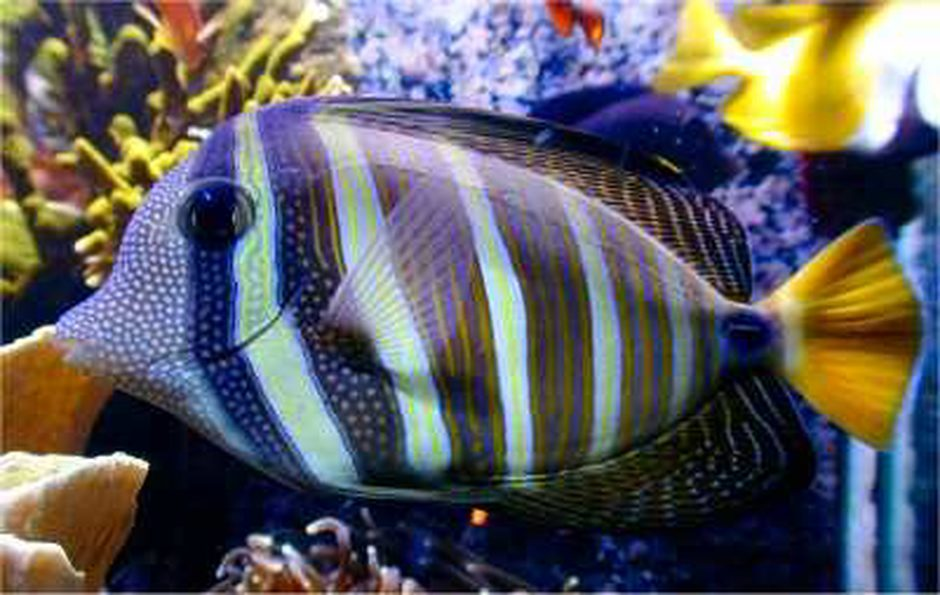 Sailfin Tang (zebrasoma veliferum) Photo Picture ID 3542