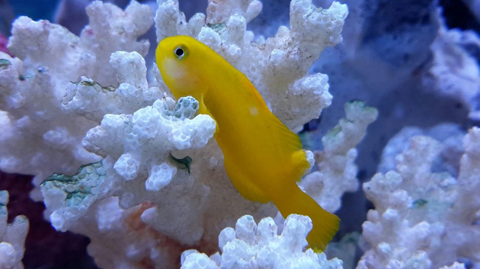 saltwater fish - gobiodon okinawae - clown goby, yellow stocking in 125 gallons tank - Yellow Clown Goby