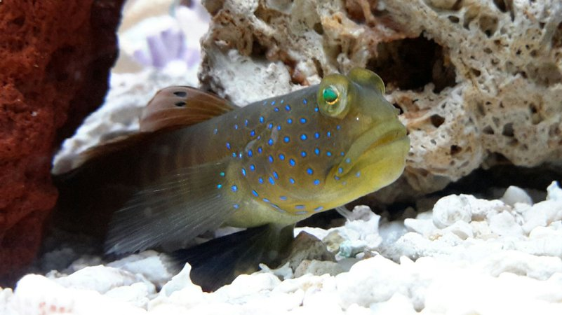 saltwater fish - cryptocentrus pavoninoides - bluespotted watchman goby stocking in 125 gallons tank - Blue Spotted Goby
