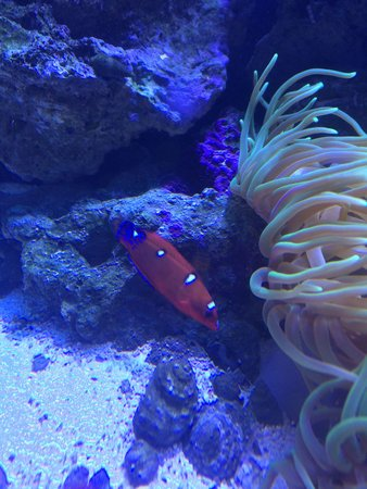 saltwater fish - coris formosa - formosa wrasse stocking in 75 gallons tank - Wrasse
