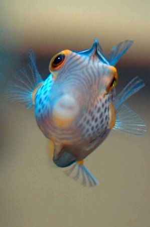 saltwater fish - canthigaster valentini - saddle valentini puffer stocking in 150 gallons tank - Valentinni's sharpnose puffer
