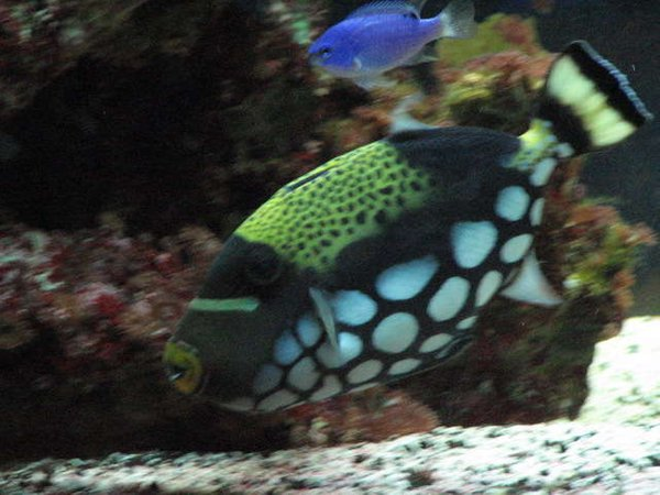 saltwater fish - balistoides conspicillum - clown triggerfish stocking in 75 gallons tank - 2 and a half year old clown triggerfish
