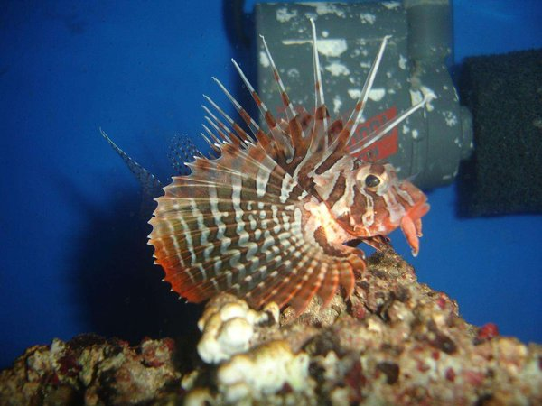 saltwater fish - parapterois heterura - blackfoot lionfish stocking in 20 gallons tank - Blackfoot Lionfish