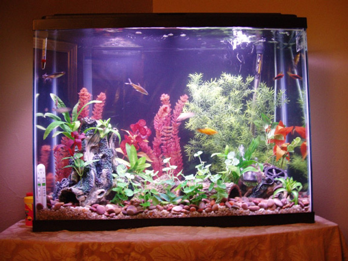 freshwater fish tank (mostly fish and non-living decorations) - 37 Gallon Tank. Inhabitants: Guppies, Platys, Swords and cats.