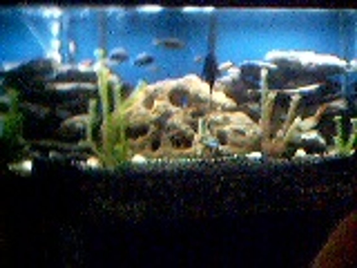 freshwater fish tank (mostly fish and non-living decorations) - African Cichlid Tank By Gary Hembree