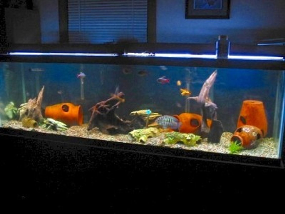freshwater fish tank (mostly fish and non-living decorations) - I have added some malaysian driftwood This is one of my 11 tanks, it is a 125 gallon with 4 blue acaras which arespawning,a vampire pleco, leapord cactus pleco, 16 inch common pleco, 4 mystus catfish, 2 bambi catfish, 4 bullseye catfish, gold barbs, columbian tetras, pearl danios and black widow tetras. If anyone has suggestions on how to make it better I am up for suggestions though I am pretty with how it turned out.I only have a few live plants as they are uprooted in seconds.Thanks