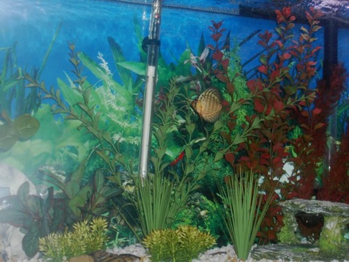 freshwater fish tank (mostly fish and non-living decorations) - 55 gal FW tank with 4 discus, 2 swordtails, 2 clown loaches and 4 skunk cory cats.