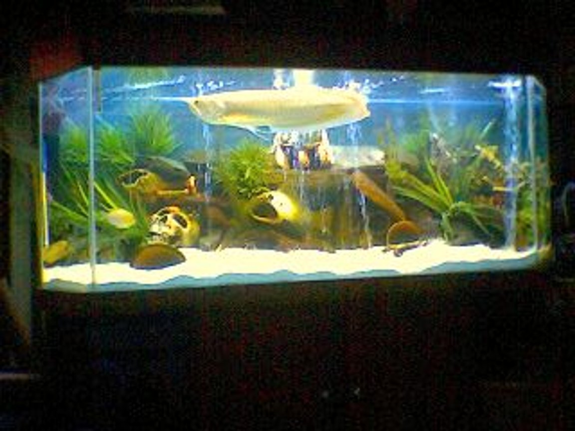 120 gallons freshwater fish tank (mostly fish and non-living decorations) - arrowana