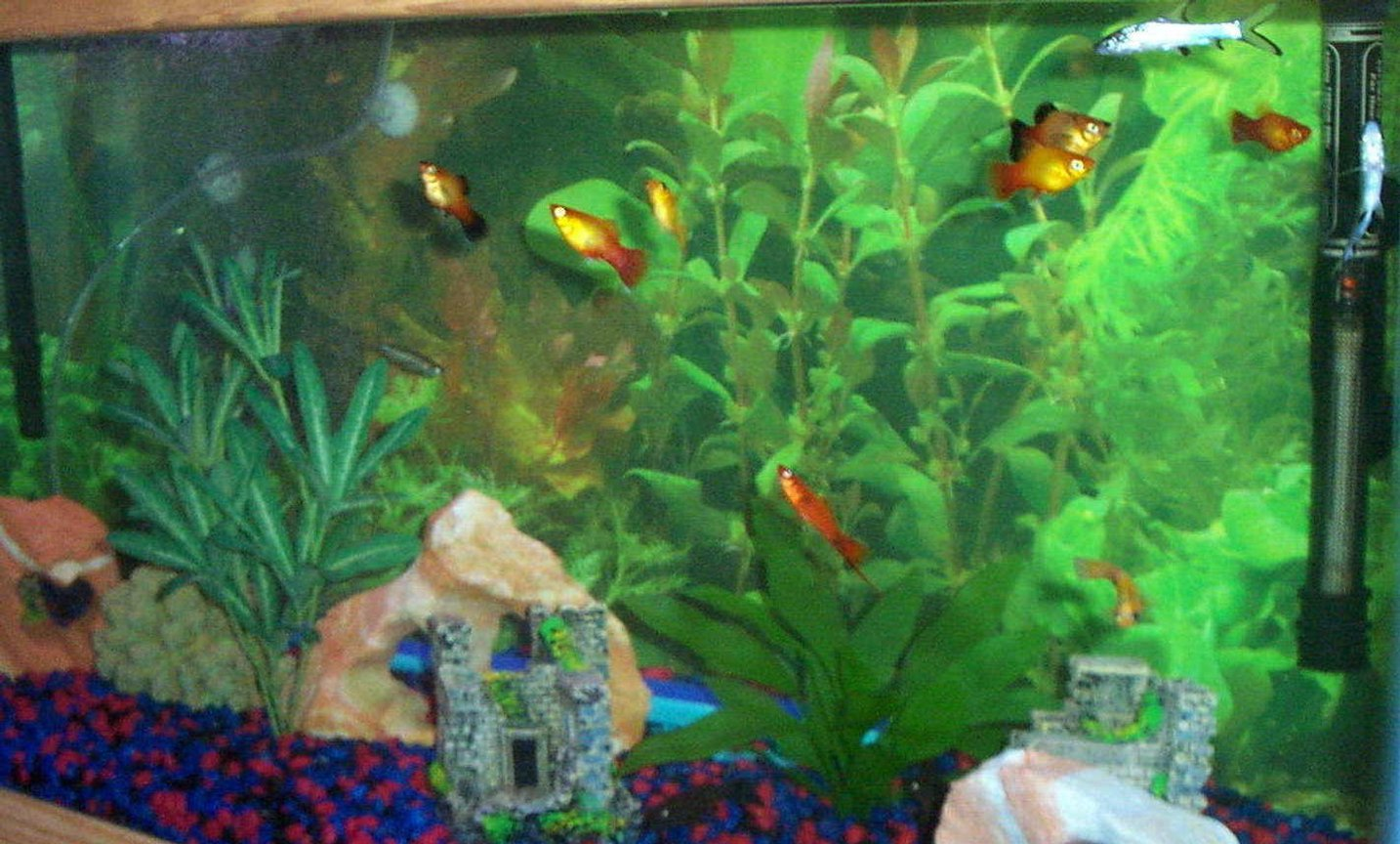 30 gallons freshwater fish tank (mostly fish and non-living decorations) - Community of primarily live-bearers