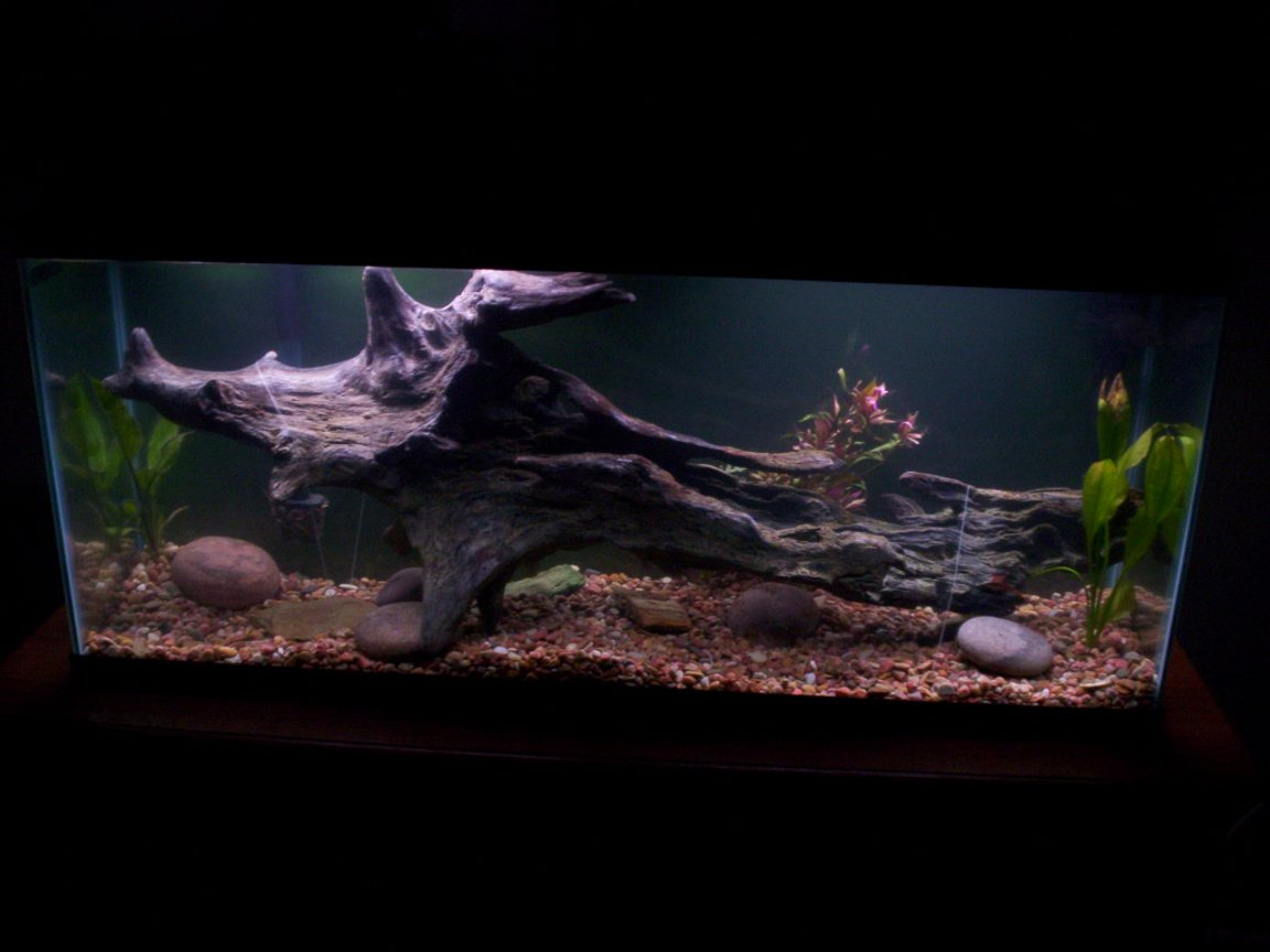 55 gallons freshwater fish tank (mostly fish and non-living decorations) - This is my 55gal Freshwater tank I just recently set up. Its a huge work in progress. It has 3 live plants, but I plan on adding many more. The huge piece of drift wood is the newest addition. I have let it set under water for a while and it will not sink, so I anchored it down for now. Looks bad, but works. This tank houses 2 south american flowerhorn cichlids.
