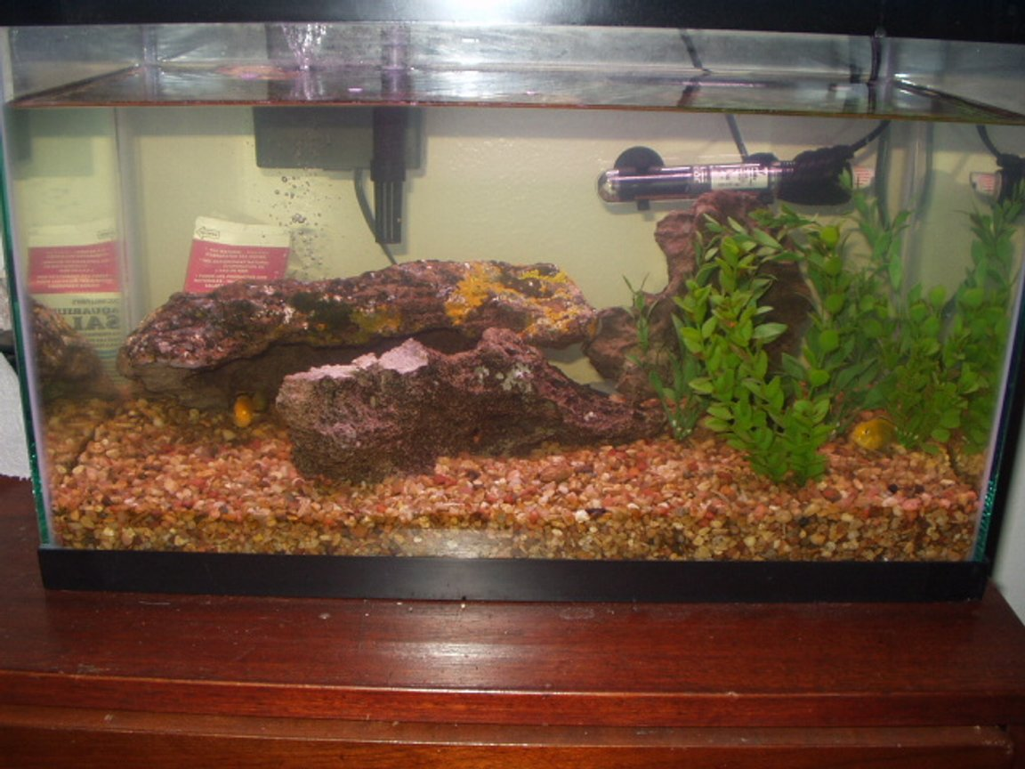 44 gallons freshwater fish tank (mostly fish and non-living decorations) - My 10 gallon cichlid tank with 5 fish. 3 are electric yellows. This tank is stable and fun to keep