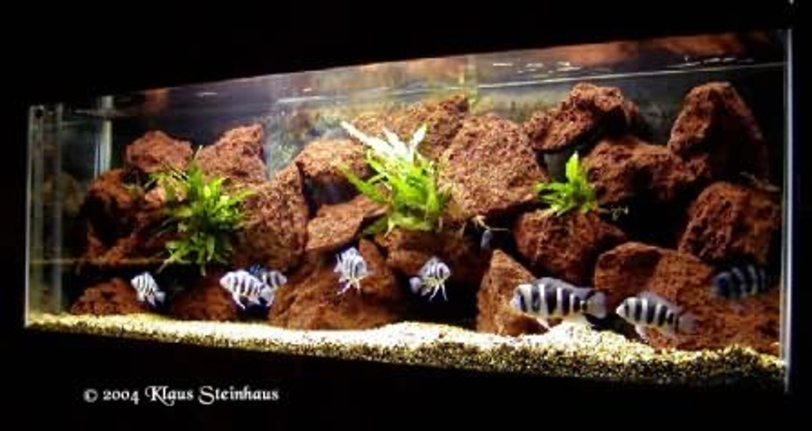 freshwater fish tank (mostly fish and non-living decorations) - Tanganjika Cichlids