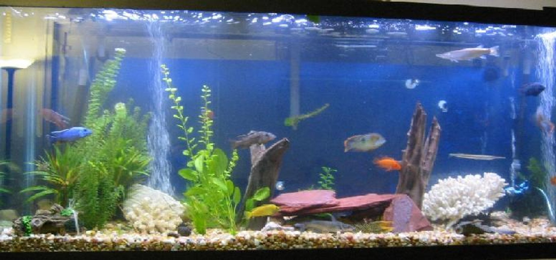 150 gallons freshwater fish tank (mostly fish and non-living decorations) - I have 2 tanks and working on my 3rd. The 1st is a 150 gallon with African cichlids ( among other things) Pictured! The 2nd is a 75 gallon with baby Cichlids The 3rd is going to be a L shaped tank 200 gallons with the front part of the L shape to be rounded. I have never seen a tank like that so if any on has any input on what to do as far as setup or know of a tank let me know.