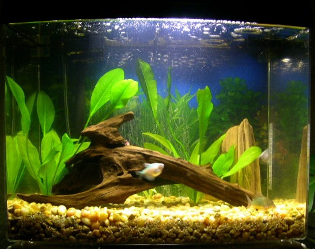 freshwater fish tank (mostly fish and non-living decorations) - My 12 gallon freshwater tank.