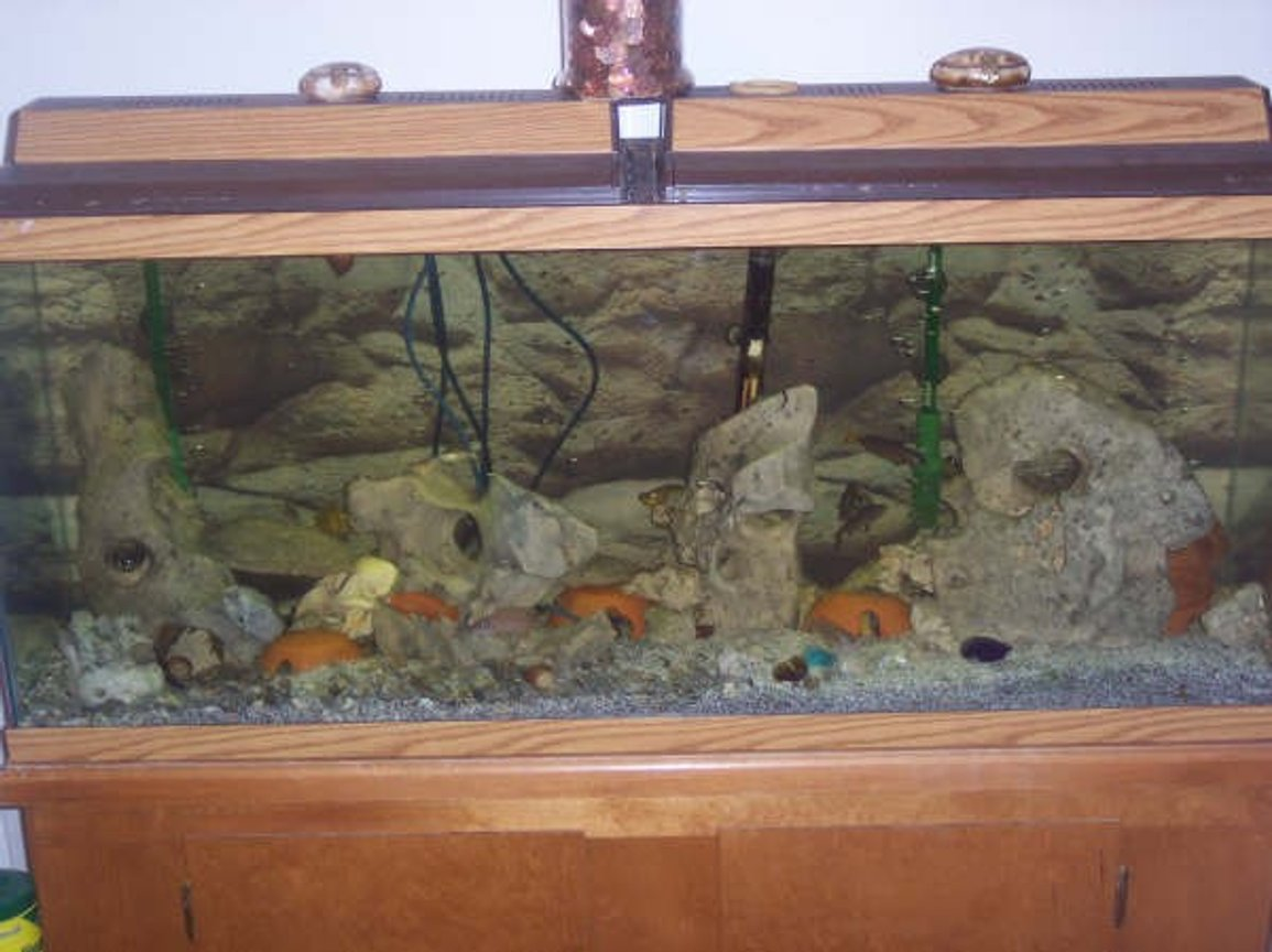 55 gallons freshwater fish tank (mostly fish and non-living decorations) - Tanganyikan Cichlid Tank
