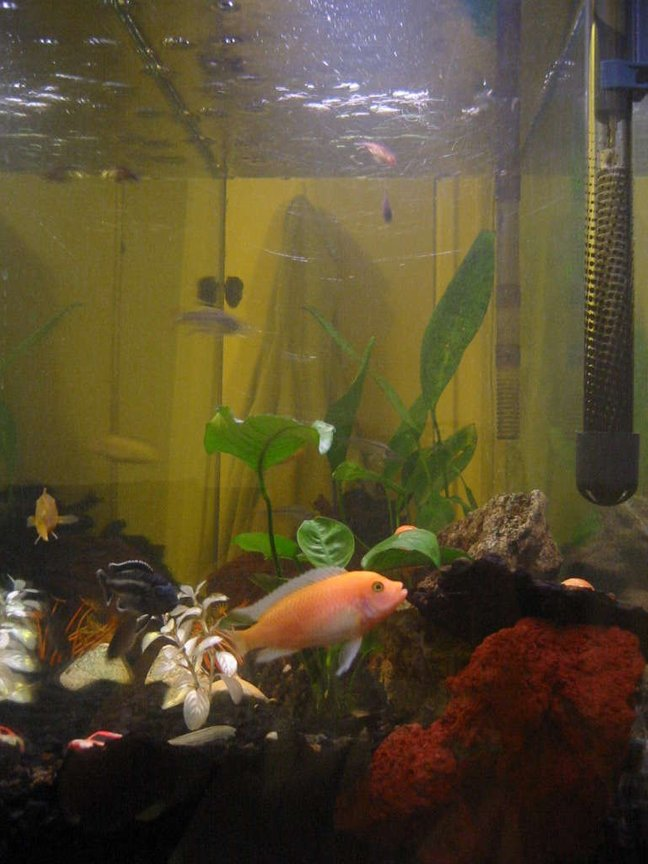35 gallons freshwater fish tank (mostly fish and non-living decorations) - My African Cichlid flexing his fins.