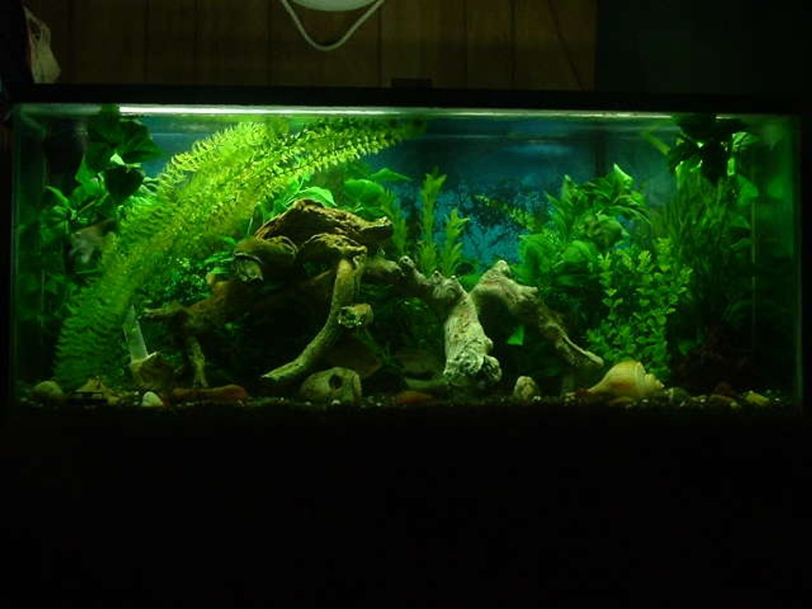 freshwater fish tank (mostly fish and non-living decorations) - Front Pic of our 55 gal 1- Green Severum Cichlid named 'fish' 1-AngleFish Cichlid named 'spike' 1 Sillver Dollar named '50 Cent' 1- Columbian Shark & 2- Tin Foil Barbs