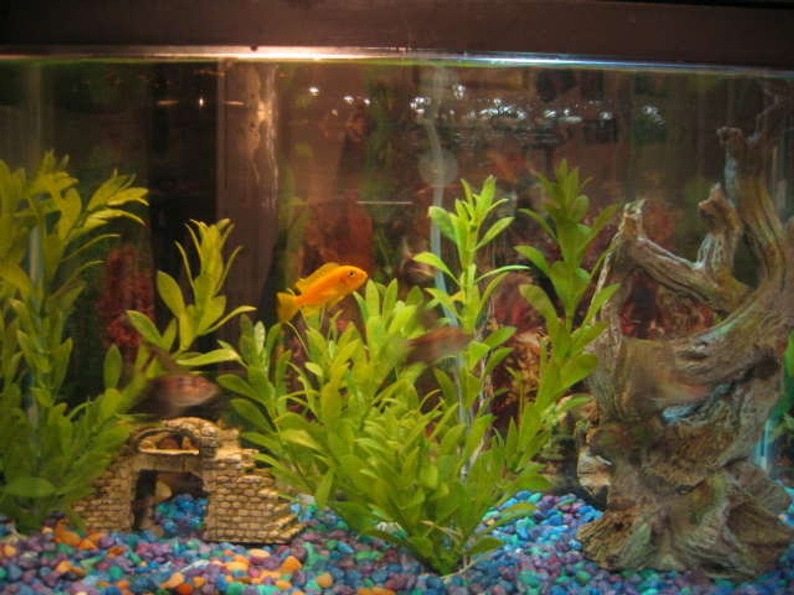 10 gallons freshwater fish tank (mostly fish and non-living decorations) - Lemon Cichlid and black skirt tetras