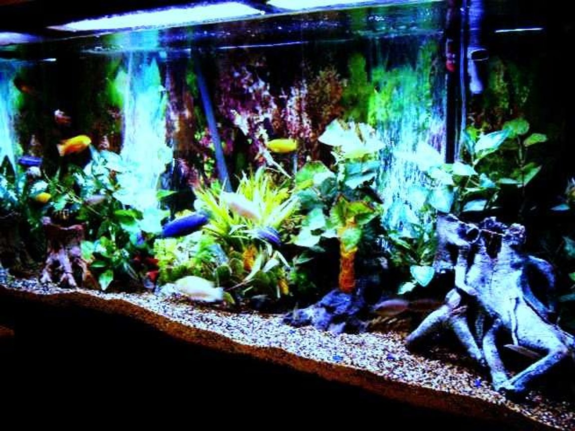 80 gallons freshwater fish tank (mostly fish and non-living decorations) - cichlid tank