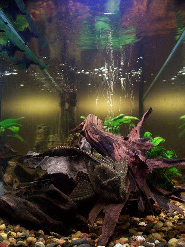 50 gallons freshwater fish tank (mostly fish and non-living decorations) - 15cm long spotted sailfin pleco on a peace of wood