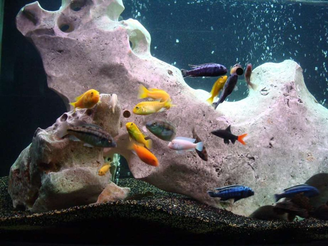 138 gallons freshwater fish tank (mostly fish and non-living decorations) - feeding time