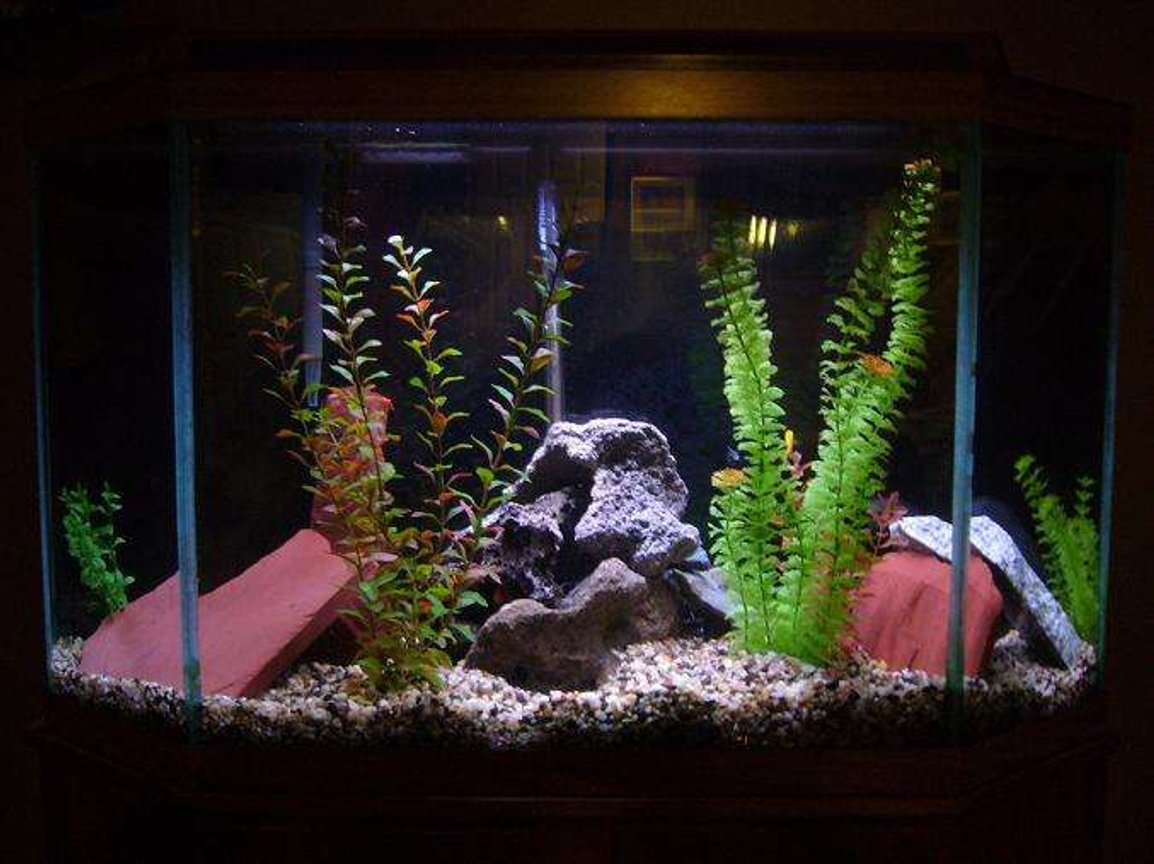 33 gallons freshwater fish tank (mostly fish and non-living decorations) - 33g cichlid tank