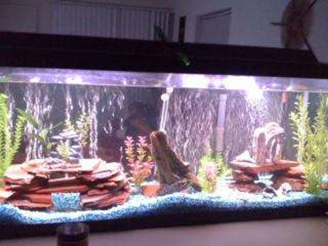 55 gallons freshwater fish tank (mostly fish and non-living decorations) - My Fishtank. About 5 months. ! Manganeses Cichlid, 1 Snook Mouth Cichlid, 1 Red Jewel Cichlid, 1 Texas/Dempsey Hybrid Cichlid, 1 Firemouth. 2 Plecos. R.I.P. Buckweat my old Jack Dempsey A.K.A King of the tank.