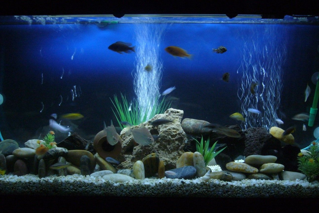 60 gallons freshwater fish tank (mostly fish and non-living decorations) - My cichlids