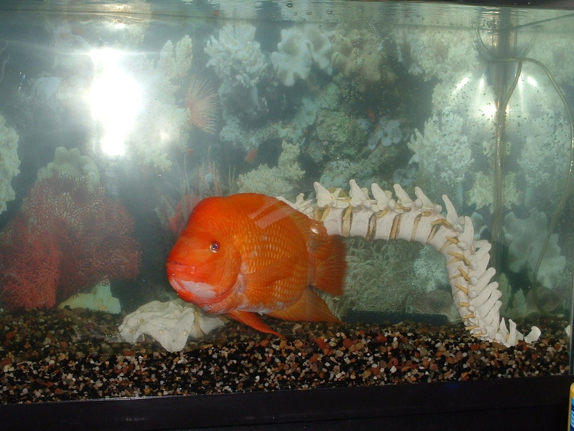 55 gallons freshwater fish tank (mostly fish and non-living decorations) - Oits Red Devil Cichlid