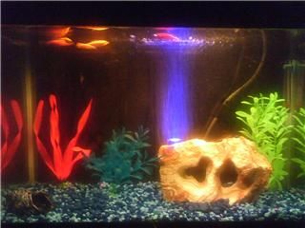 freshwater fish tank (mostly fish and non-living decorations) - Glofish 10 gallon aquarium 2 red glofish, 2 orange glofish, 1 green glofish, 1 zebra danio, & 1 snail. I'm going to get a background on here soon, I just can't decide on what color.