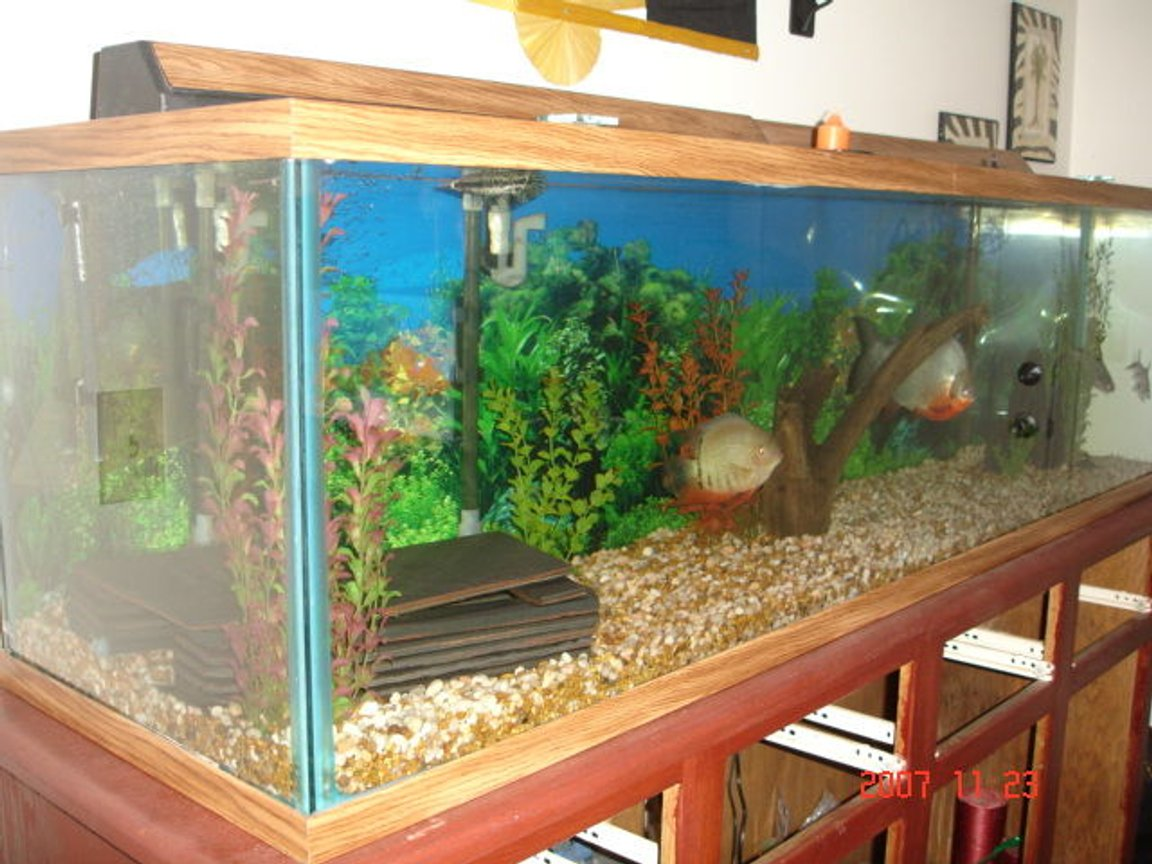 110 gallons freshwater fish tank (mostly fish and non-living decorations) - 110 gallon fish tank with a 1ft long pacu a 7 inch severum a 8 inch shortnosed gar. anda 7 inch irrodesent shark and 5 inch bala shark