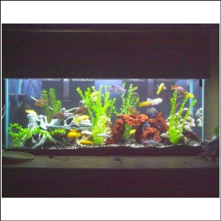 55 gallons freshwater fish tank (mostly fish and non-living decorations) - 50 cichlids