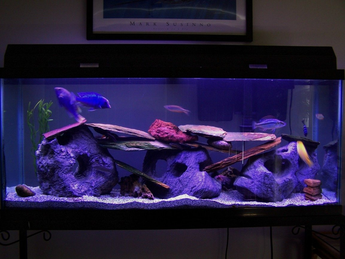 55 gallons freshwater fish tank (mostly fish and non-living decorations) - My 55gal assorted Malawi/Tanganyika cichlid tank. Malawi fish include a yellow lab, demasoni, hap compressiceps(eye biter), hap moorii(blue dolphin), peacock hybrid and Synodontis catfish. Tanganyika fish include a golden juli and a calvus. Also Raphael Catfish, 2 plecos, clown loach, 2 danias, and some botias.