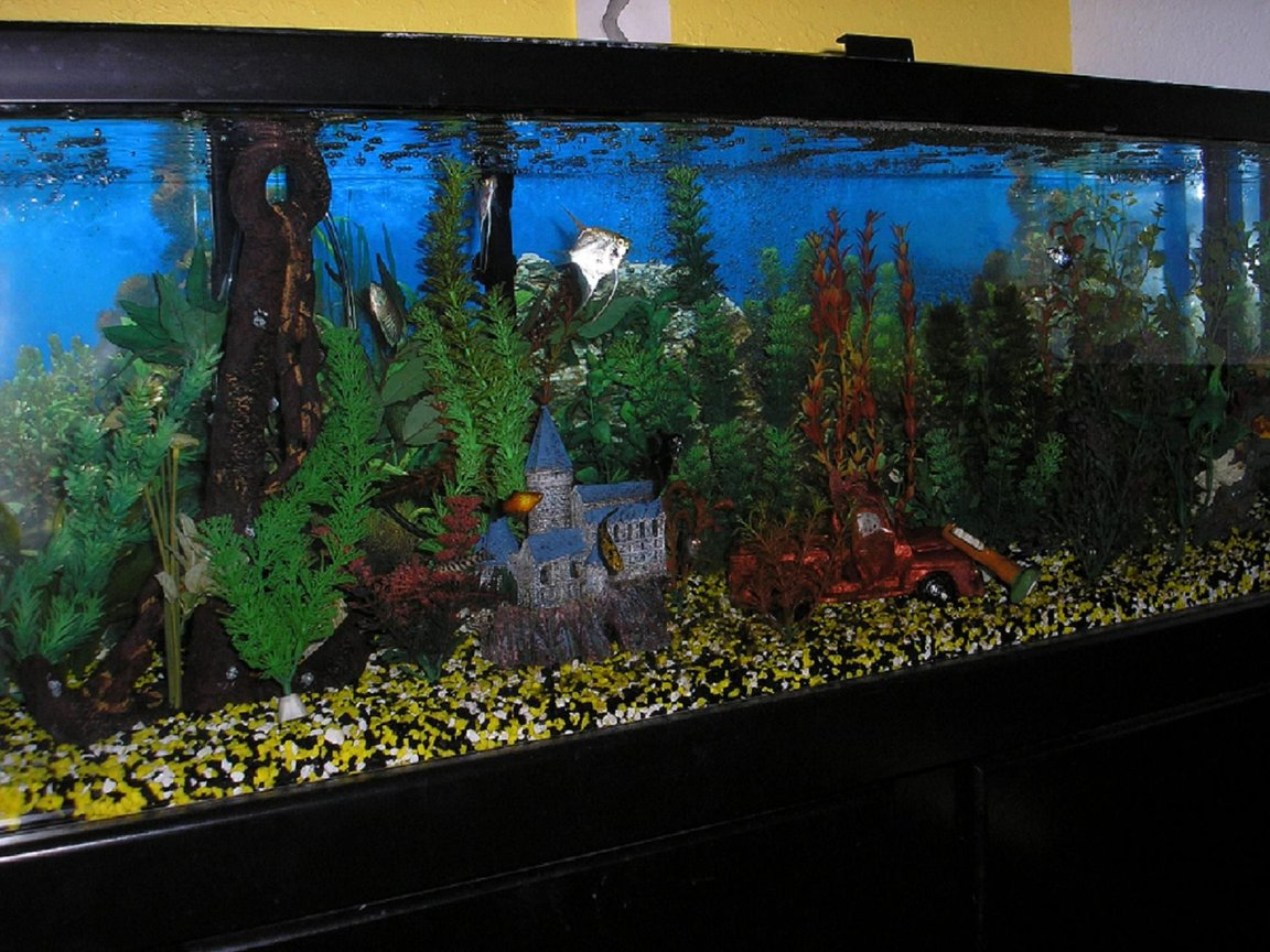 60 gallons freshwater fish tank (mostly fish and non-living decorations) - 60 gall community 2 angels, gibby pleco, clown loach, yoyo loach, blue oupaline gourami, neon dwarf gourami, platy, molly, guppy,