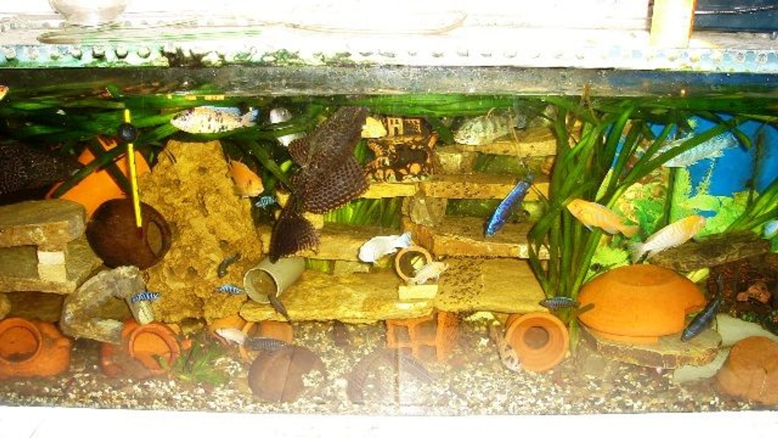 70 gallons freshwater fish tank (mostly fish and non-living decorations) - cichlid aqua
