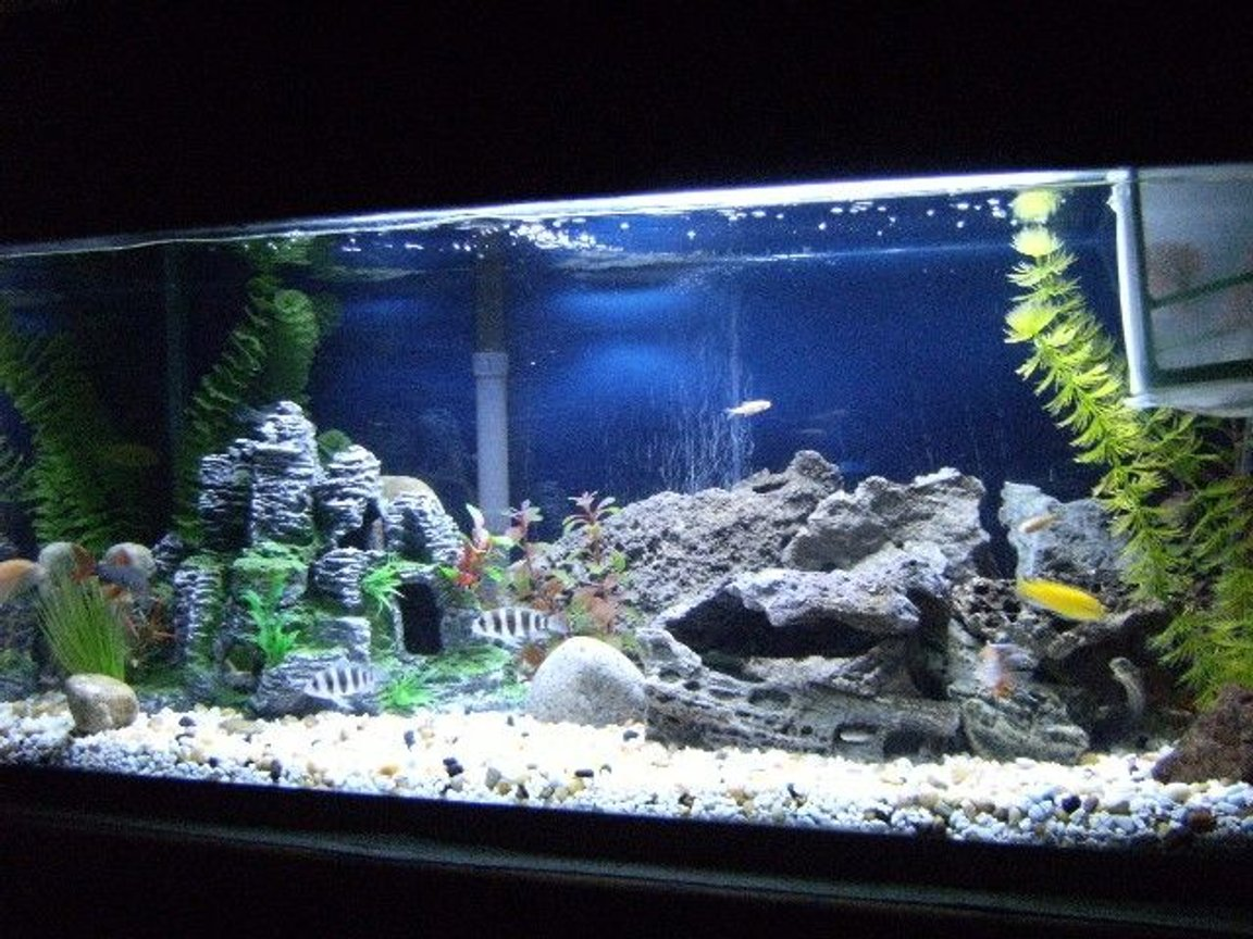 40 gallons freshwater fish tank (mostly fish and non-living decorations) - The new cichlid setup