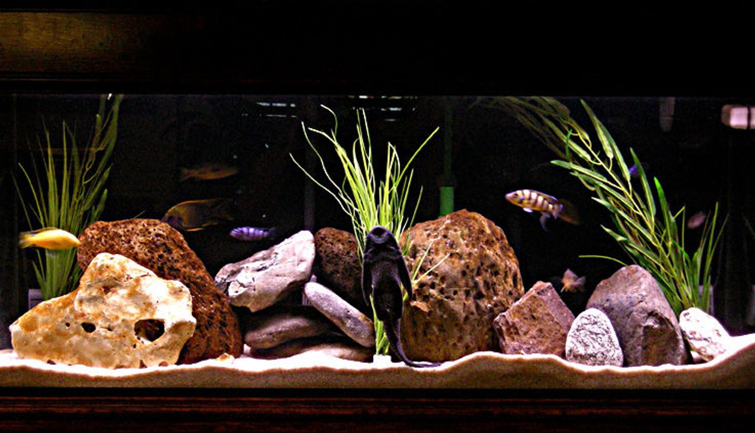 55 gallons freshwater fish tank (mostly fish and non-living decorations) - Mix male tank.