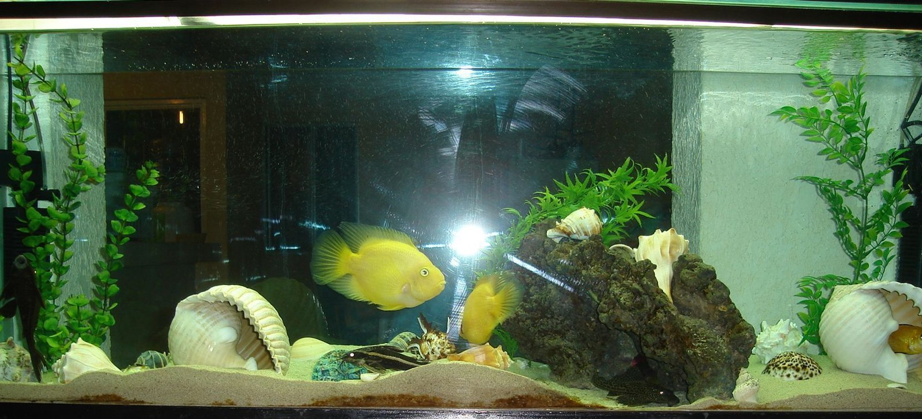 45 gallons freshwater fish tank (mostly fish and non-living decorations) - acuario de ciclidos con caracoles marinos, espero les guste