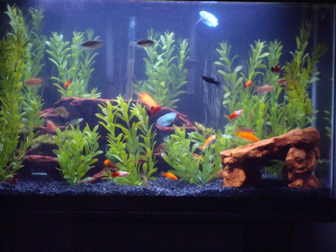29 gallons freshwater fish tank (mostly fish and non-living decorations) - Over-stocked and loving it . . .