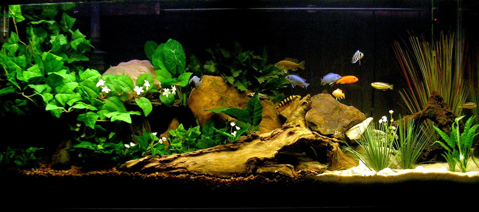 29 gallons freshwater fish tank (mostly fish and non-living decorations) - My Cichlid Sanctuary.