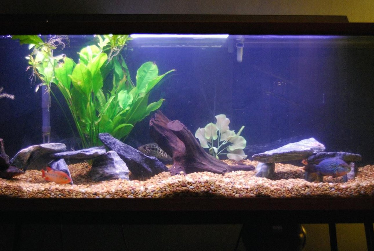 125 gallons freshwater fish tank (mostly fish and non-living decorations) - 125 gal New World Cichlid tank