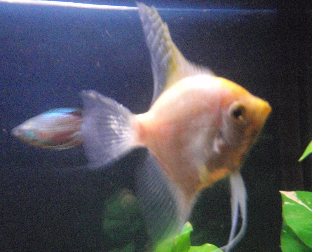 60 gallons freshwater fish tank (mostly fish and non-living decorations) - Golden angel & dwarf rainbow gourami swimming laps.