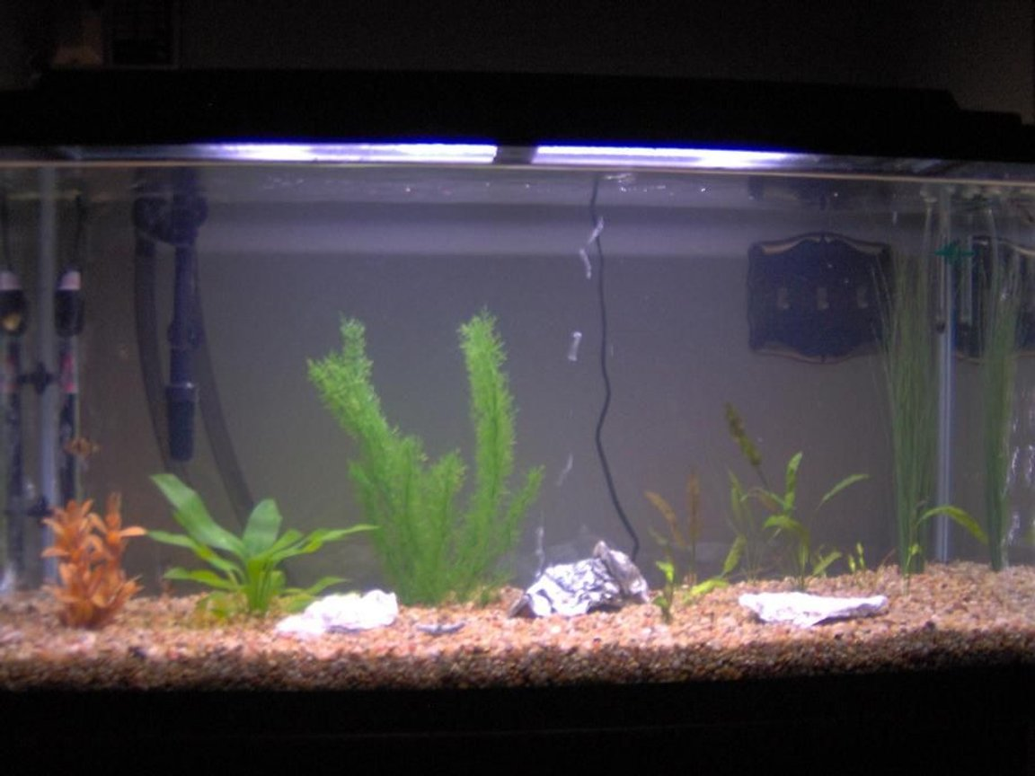 38 gallons freshwater fish tank (mostly fish and non-living decorations) - My 38 Gallon Fish Tank, 6 Tiger Barbs, 2 Green Tiger Barbs, One White Cloud Minnow, and a Gold Chinese Algae Eater. I'm using a Marineland C-Series Multi Stage Canister Filter C-220, the best fiter out there. I personaly think this filter is better then the Eheim, because it allows no bypass, it forces the water through the filter media trays and not around them, all the other canisters allow 40% to 60%
