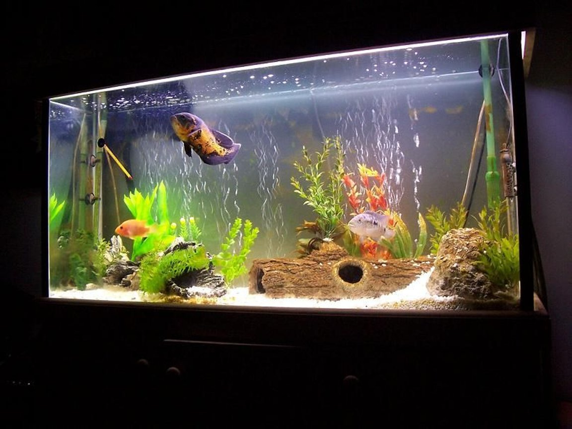 60 gallons freshwater fish tank (mostly fish and non-living decorations) - Sth American Cichlids