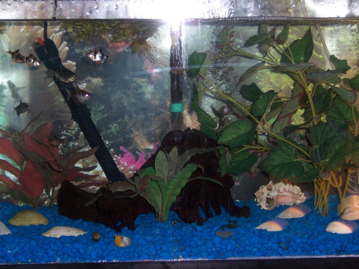 20 gallons freshwater fish tank (mostly fish and non-living decorations) - this 20 gallon has 4 Tiger Barbs,2 Green Tiger Barbs,2 Black Skirt Tetras,2 Serpa Tetras,2 Platies,1 Columbian Shark,1 Amando Shrimp,1 Frog and 8 Snails,also added 4 yellow mollies