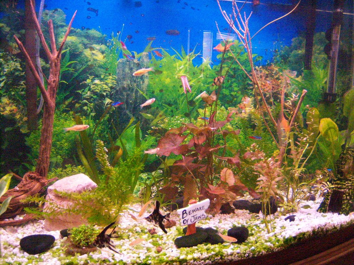 46 gallons freshwater fish tank (mostly fish and non-living decorations) - this is my 46 gallon bowed planted tank about 3-4 weeks old.diy co2 injected, liquid fertilizer, weekly 50% water change,100 watt lighting system,comunaty tank