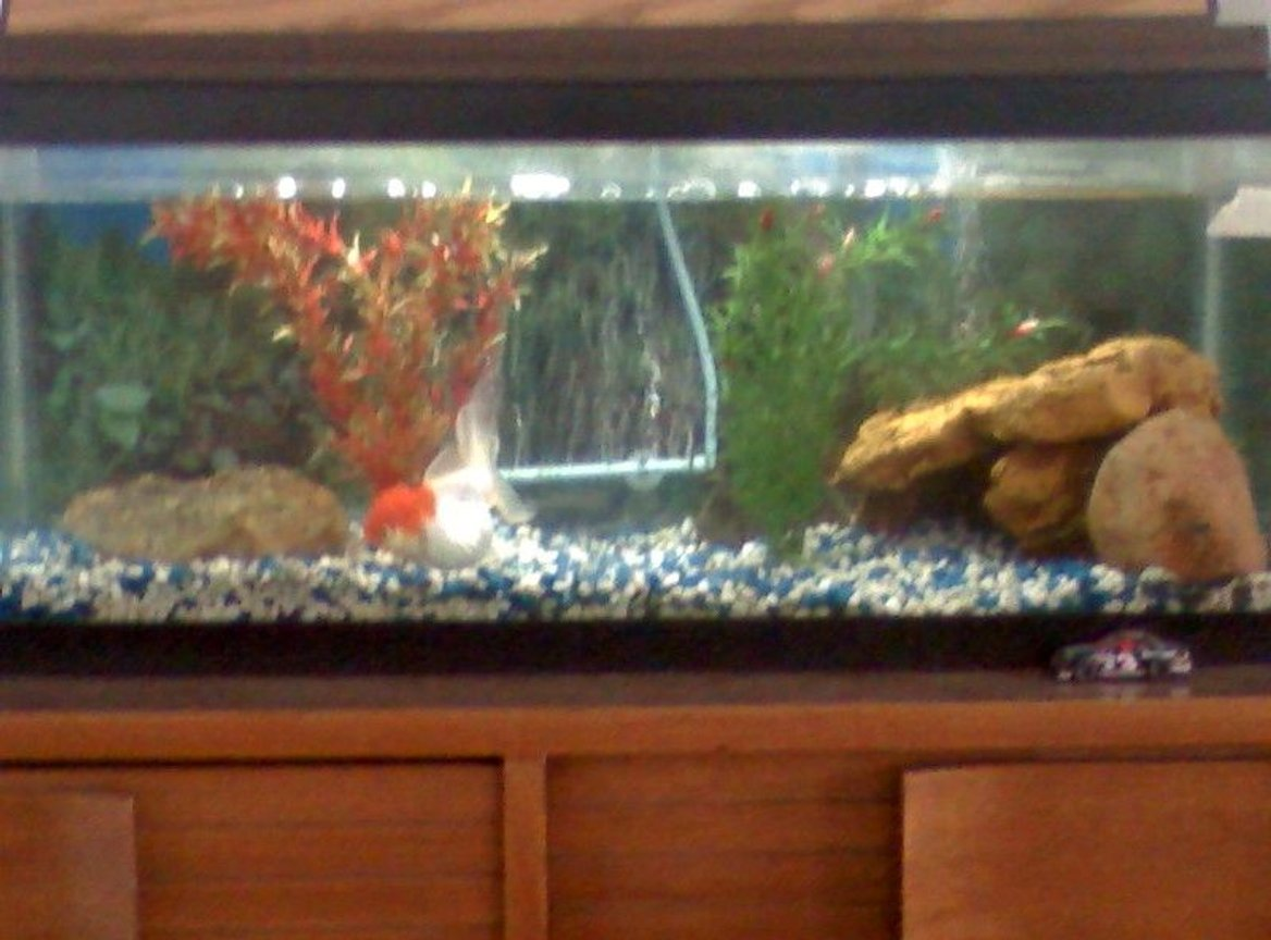 20 gallons freshwater fish tank (mostly fish and non-living decorations) - Freshwater tank with Japanese Oranda