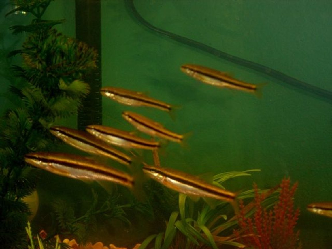 10 gallons freshwater fish tank (mostly fish and non-living decorations) - school of black nosed dace