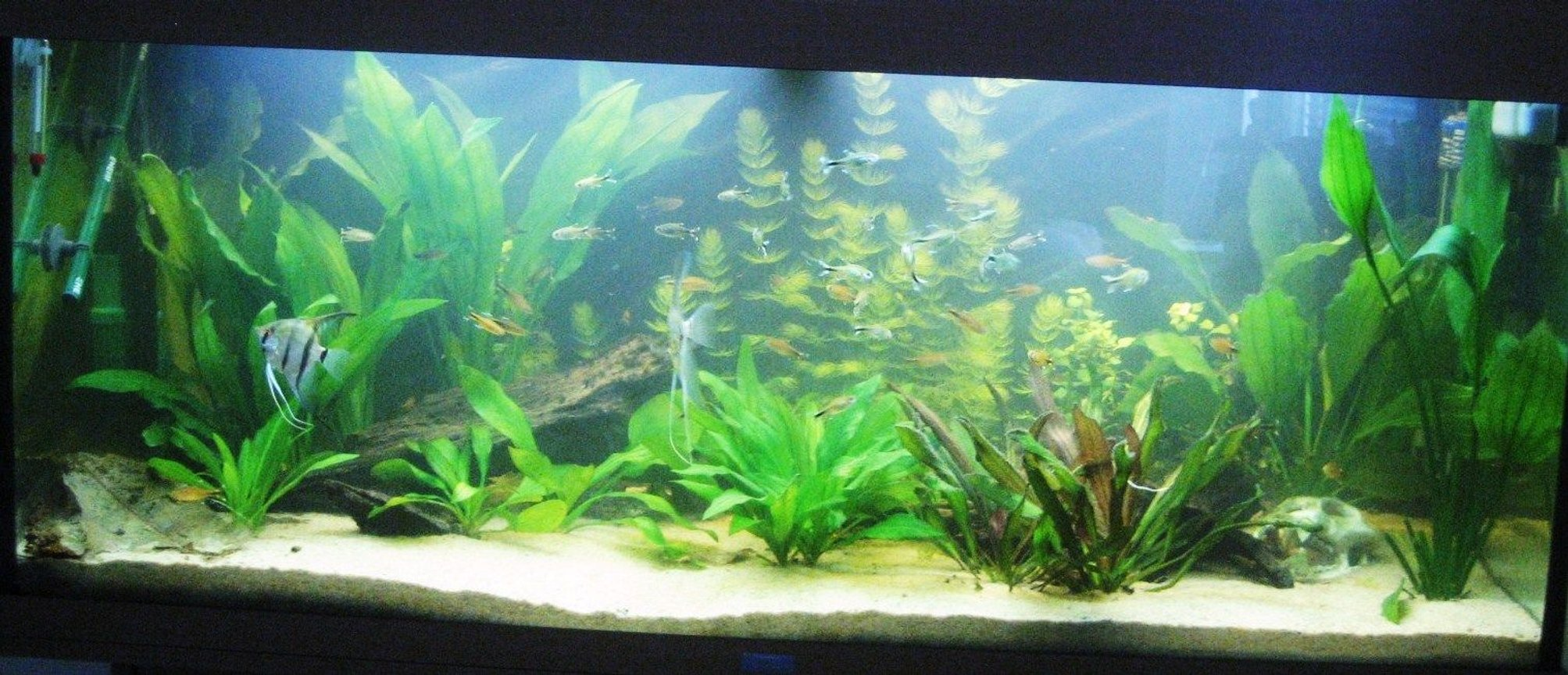 53 gallons freshwater fish tank (mostly fish and non-living decorations) - My Amazonia biotope.